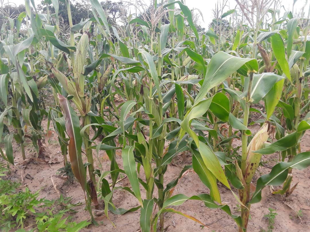 Bumper harvest from Sygenta maize seed